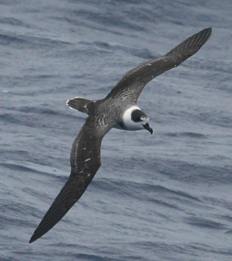 White-naped petrel. Dorsal view of adult in flight. North Cape to Three Kings, March 2011. Image © Detlef Davies by Detlef Davies
