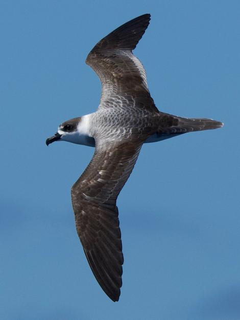 White-naped petrel. Adult in flight. Tutukaka Pelagic out past Poor Knights Islands, February 2021. Image © Scott Brooks (ourspot) by Scott Brooks