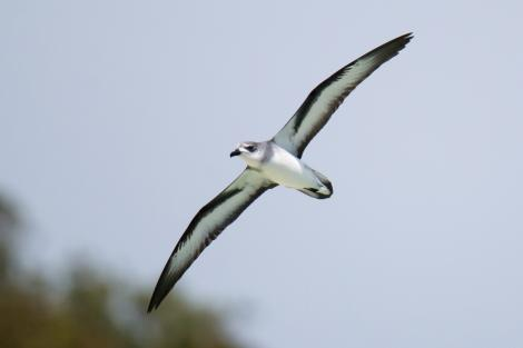 Black-winged petrel. Adult in flight, ventral view. Neds Beach, Lord Howe Island, February 2017. Image © Mark Lethlean by Mark Lethlean