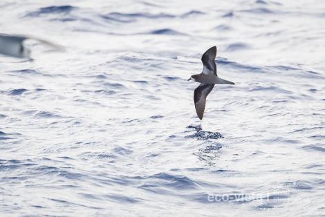 Collared petrel. Dark morph adult in flight. At sea off Kermadec Islands, March 2021. Image © Brent Stephenson by Brent Stephenson