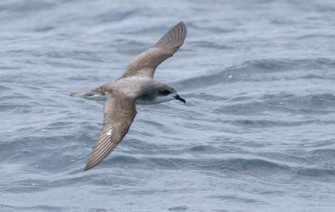 Pycroft's petrel. Dorsal view of adult in flight. Bay of Islands, January 2017. Image © Matthias Dehling by Matthias Dehling