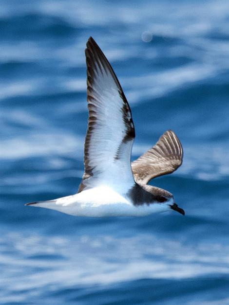 Pycroft's petrel. Adult in flight. Tutukaka Pelagic out past Poor Knights Islands, February 2021. Image © Scott Brooks (ourspot) by Scott Brooks