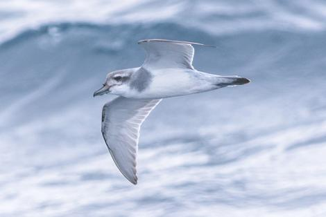 Salvin's prion. Adult in flight. At sea off Otago Peninsula, March 2017. Image © Matthias Dehling by Matthias Dehling