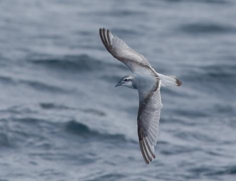 Antarctic prion. Adult, in flight. At sea off Wollongong, New South Wales, Australia, July 2011. Image © Brook Whylie by Brook Whylie www.sossa-international.org