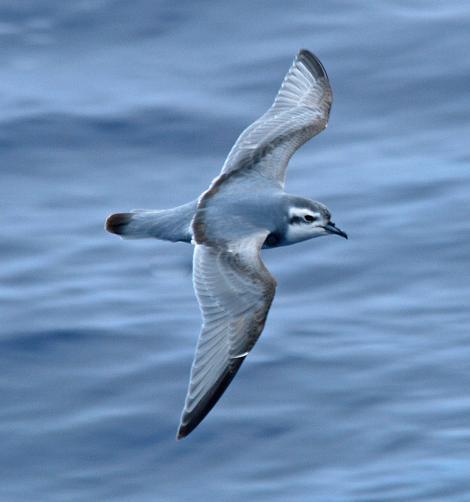Thin-billed prion. Adult in flight (dorsal). Drake Passage, December 2006. Image © Nigel Voaden by Nigel Voaden http://www.flickr.com/photos/nvoaden/