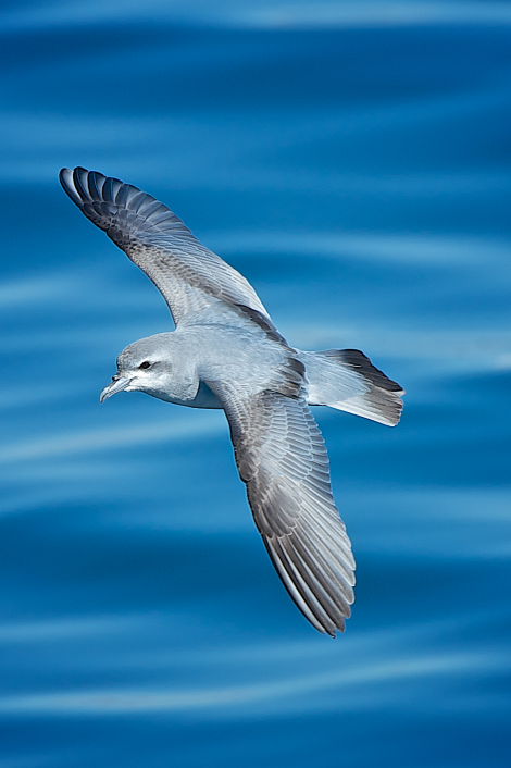 Fairy prion. In flight, dorsal. Whangaroa pelagic, July 2014. Image © Les Feasey by Les Feasey