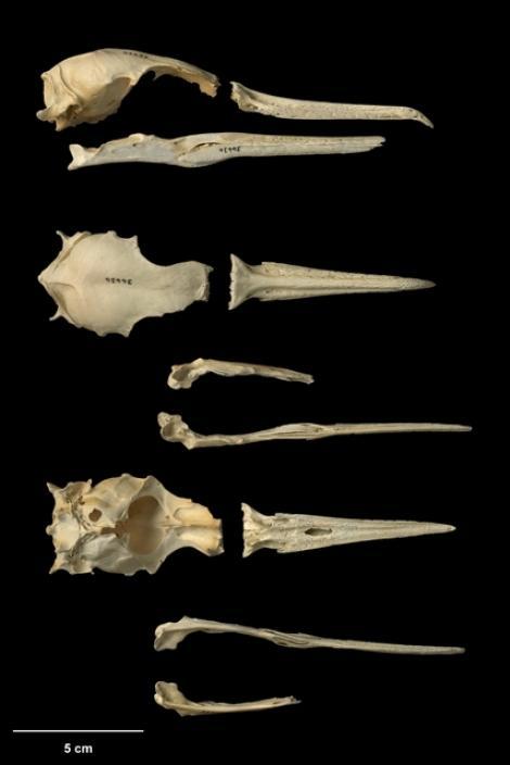 Kohatu shag. Holotype skull (Te Papa NMNZ S.34434). Tokerau Beach, Northland, August 1984. Image © Te Papa by Jean-Claude Stahl