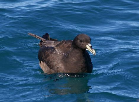 White-chinned petrel. Adult. Kaikoura pelagic, January 2013. Image © Colin Miskelly by Colin Miskelly