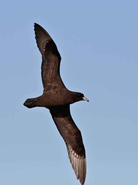 Black petrel. Ventral view of adult in flight. Hauraki Gulf, January 2010. Image © Martin Sanders by Martin Sanders  http://martinsanders.smugmug.com/