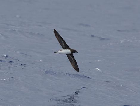 Tahiti petrel. In flight, ventral. At sea, Off Southport, Queensland, Australia, March 2012. Image © Brook Whylie by Brook Whylie http://www.sossa-international.org