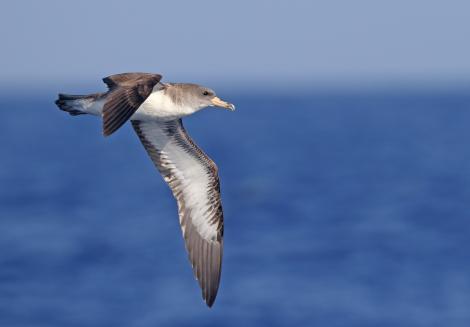 Cory's shearwater. Adult in flight. Banco de Concepcion, off Lanzarote, Canary Islands, September 2016. Image © Juan Sagardia by Juan Sagardia