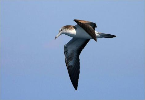 Streaked shearwater. Adult in flight. Wollongong pelagic, New South Wales, Australia, February 2009. Image © Tobias Hayashi by Tobias Hayashi via Flickr,