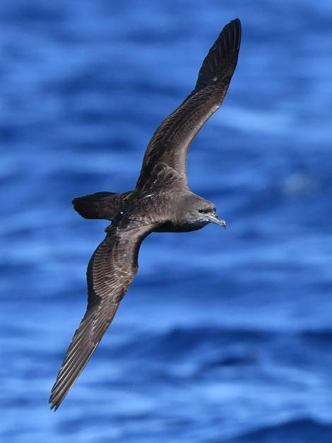 Wedge-tailed shearwater. Adult in flight. Kermadec Islands, March 2021. Image © Scott Brooks (ourspot) by Scott Brooks