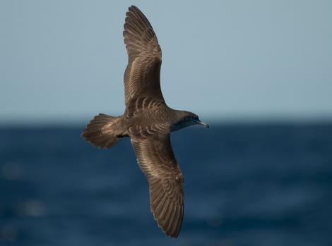 Wedge-tailed shearwater. Dorsal view of adult in flight. Off Norfolk Island, April 2012. Image © Philip Griffin by Philip Griffin