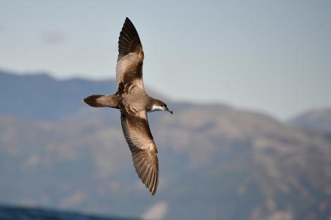 Buller's shearwater. Dorsal view of adult flying. Kaikoura coast, January 2013. Image © Brian Anderson by Brian Anderson http://www.baphotographic.co.uk
