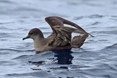 Short-tailed shearwater. On water with wings raised. Kaikoura pelagic, June 2015. Image © Duncan Watson by Duncan Watson