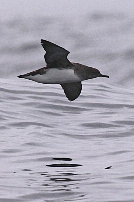 Hutton's shearwater. Adult in flight. Off Kaikoura Peninsula, March 2010. Image © Peter Langlands by Peter Langlands www.wild-capture.blogspot.com
