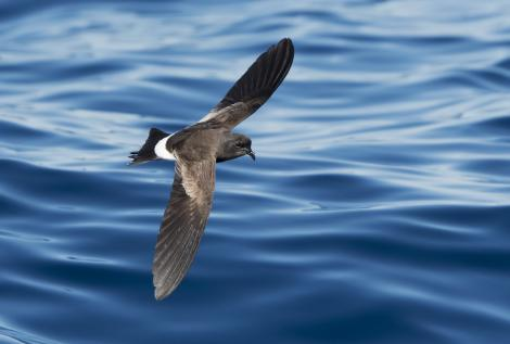 Wilson's storm petrel. Adult in flight. Port MacDonnell pelagic, South Australia, March 2017. Image © Craig Greer by Craig Greer