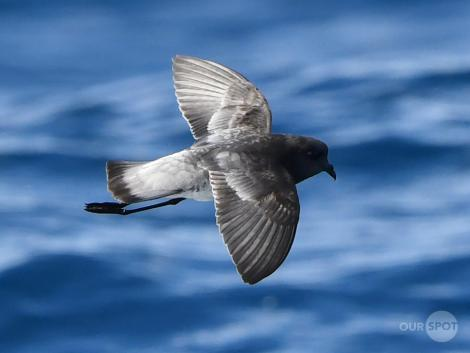 Grey-backed storm petrel. Adult in flight. Tutukaka Pelagic out past Poor Knights Islands, July 2021. Image © Scott Brooks (ourspot) by Scott Brooks