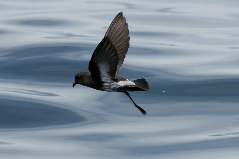 New Zealand storm petrel. Adult in flight. Outer Hauraki Gulf, January 2012. Image © Philip Griffin by Philip Griffin