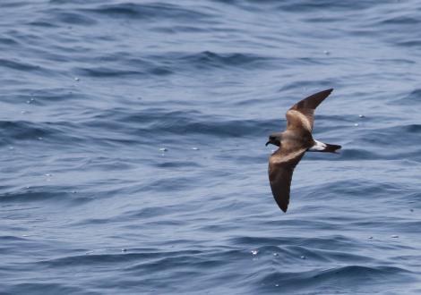 Leach's storm petrel. Adult (ssp. leucorhoa) in flight during non-breeding season. Gulf Stream, Massachusetts, USA, June 2010. Image © Ian Davies by Ian Davies ©Ian Davies