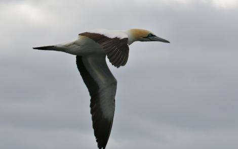 Cape gannet. Adult in flight. Off Cape of Good Hope, South Africa, October 2015. Image © Geoff de Lisle by Geoff de Lisle