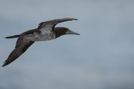 Brown booby. Immature in flight (ventral). Muriwai gannet colony, May 2016. Image © Bartek Wypych by Bartek Wypych