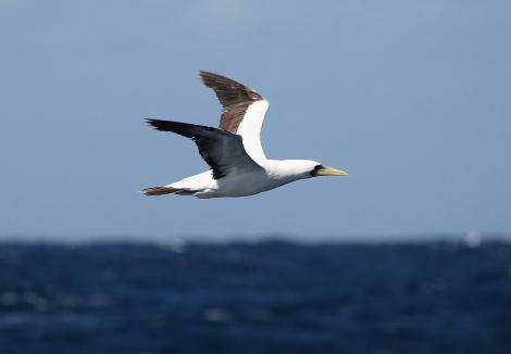 Masked booby. Adult in flight. At sea, Off Ulladulla, New South Wales,  Australia, March 2007. Image © Brook Whylie by Brook Whylie http://www.sossa-international.org