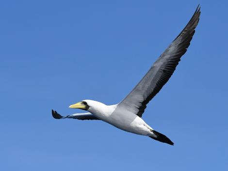 Masked booby. Adult in flight. Macauley Island, March 2021. Image © Scott Brooks (ourspot) by Scott Brooks