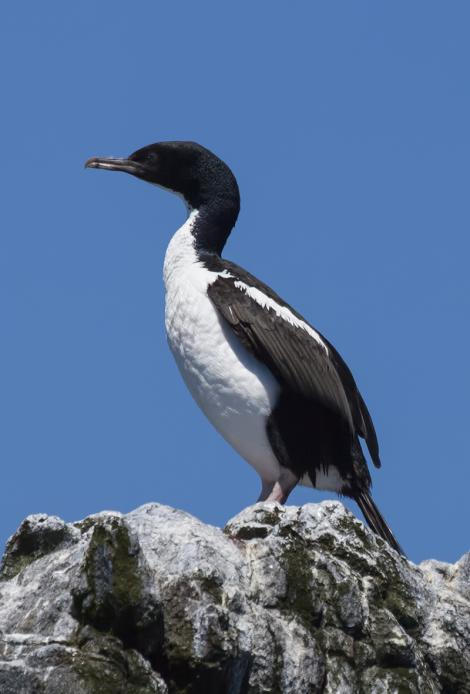 Stewart Island shag. Adult, pied morph (non-breeding). Halfmoon Bay, December 2015. Image © David Rintoul by David Rintoul