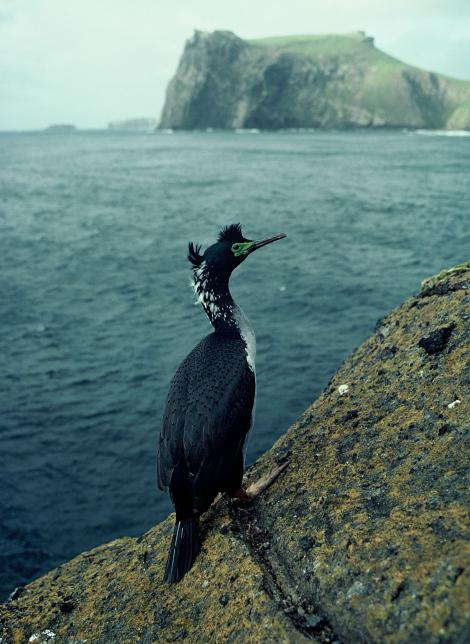 Pitt Island shag. Adult in breeding plumage with Mangere Island in background. Little Mangere Island, Chatham Islands, October 1976. Image © Department of Conservation (image ref: 10035243) by Rod Morris, Department of Conservation Courtesy of Department of Conservation