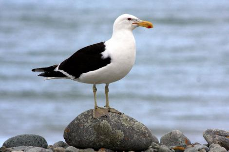 Southern black-backed gull. Adult. Boulder Bank, Nelson, January 2008. Image © Rebecca Bowater FPSNZ by Rebecca Bowater  FPSNZ www.floraandfauna.co.nz