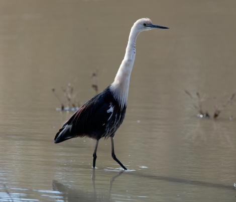 Pacific heron. Non-breeding adult. Menindee Lakes, New South Wales, Australia. Image © Sonja Ross by Sonja Ross