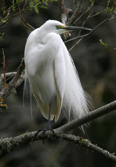 White heron. Adult in breeding plumage. Wanganui, July 2007. Image © Ormond Torr by Ormond Torr