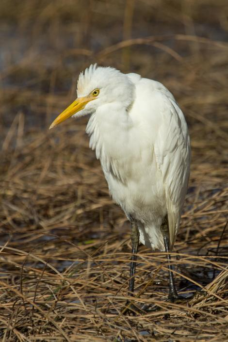 Cattle egret. Adult non-breeding. Weggery Drive lagoon, Waikanae Beach, May 2015. Image © Roger Smith by Roger Smith