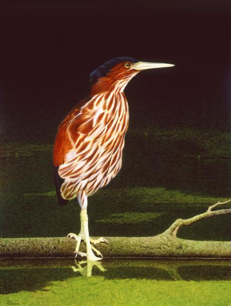 New Zealand little bittern. Adult. Oil on board 300 x 370 mm. From the publication 'New Zealand's Extinct Birds' (Brian Gill 1991).. . Image © Paul Martinson by Paul Martinson