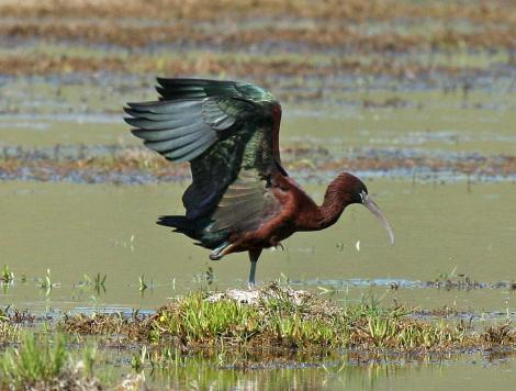Glossy ibis. Adult. Wairau oxidation ponds, October 2008. Image © Duncan Watson by Duncan Watson