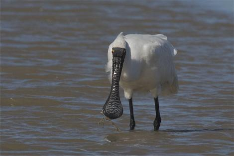 Royal spoonbill. Non-breeding adult feeding. Ashley River estuary, Canterbury, March 2014. Image © Steve Attwood by Steve Attwood http://www.flickr.com/photos/stevex2/