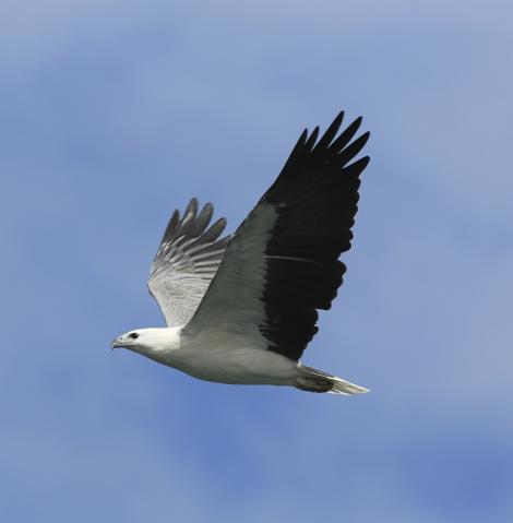 White-bellied sea eagle. Adult in flight. Kalgan River, Albany, Western Australia, March 2015. Image © Tony Hill by Tony Hill