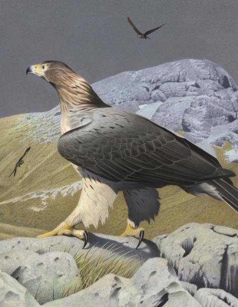 Haast's eagle | New Zealand Birds Online