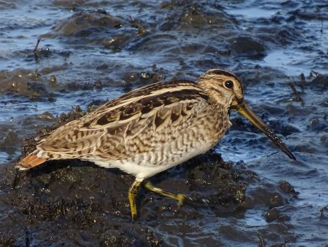 Japanese snipe. Adult foraging. Jerrabomberra Wetlands, Canberra, ACT, Australia, March 2019. Image © R.M. by R.M.