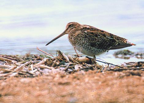 Japanese snipe. Adult. Manawatu River estuary, October 2000. Image © Alex Scott by Alex Scott