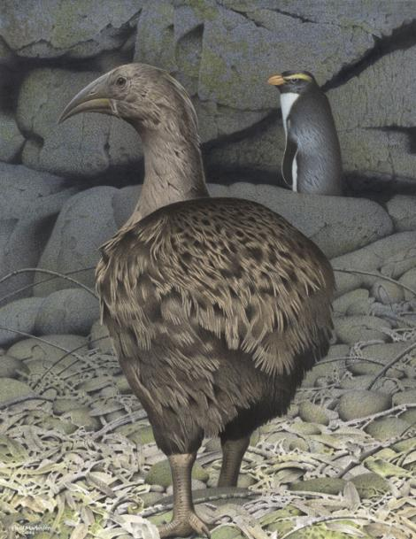 South Island adzebill. South Island adzebill (Aptornis defossor). Image 2006-0010-1/41 from the series 'Extinct birds of New Zealand'. Masterton. Image © Purchased 2006. © Te Papa by Paul Martinson See Te Papa website: https://collections.tepapa.govt.nz/object/710943