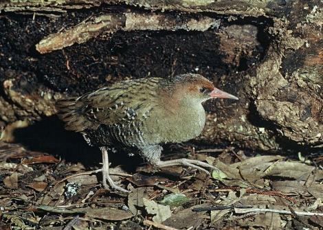 Auckland Island rail. Adult female in captivity. Mount Bruce Wildlife Centre, September 1975. Image © Department of Conservation (image ref: 10036058) by Rod Morris Courtesy of Department of Conservation
