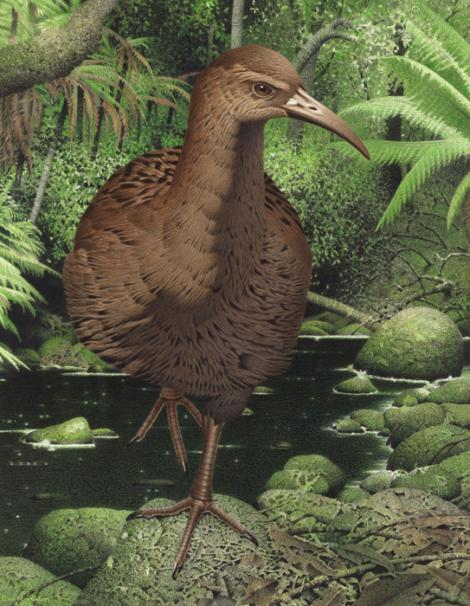 Hawkins' rail. Hawkins' rail (Diaphorapteryx hawkinsi). Image 2006-0010-1/44 from the series 'Extinct birds of New Zealand'. Masterton. Image © Purchased 2006. © Te Papa by Paul Martinson See Te Papa website: http://collections.tepapa.govt.nz/objectdetails.aspx?irn=710946&term=hawkins%27+rail