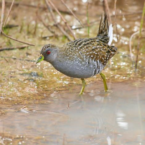 Australian crake. Adult. Tibooburra,  New South Wales, August 2008. Image © Dick Jenkin by Dick Jenkin   www.jenkinphotography.com.au
