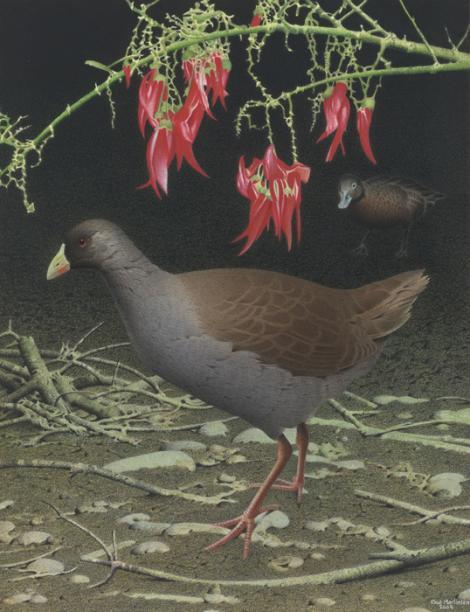 Hodgens' waterhen. Hodgens' waterhen (Gallinula hodgenorum). Image 2006-0010-1/47 from the series 'Extinct birds of New Zealand'. Masterton. Image © Purchased 2006. © Te Papa by Paul Martinson See Te Papa website: http://collections.tepapa.govt.nz/objectdetails.aspx?irn=710950&term=hodgens%27