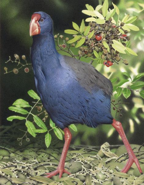 North Island takahe. Moho (Porphyrio mantelli). Image 2006-0010-1/48 from the series 'Extinct birds of New Zealand'. Masterton. Image © Purchased 2006. © Te Papa by Paul Martinson See Te Papa website: http://collections.tepapa.govt.nz/objectdetails.aspx?irn=710948&term=moho