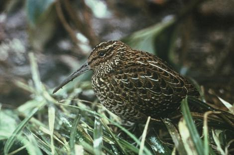 South Island snipe. Adult male in captivity. One of 2 caught in failed rescue bid. Big South Cape Island, Stewart Island, September 1964. Image © Department of Conservation (image ref: 10040147) by Don Merton, Department of Conservation Courtesy of Department of Conservation