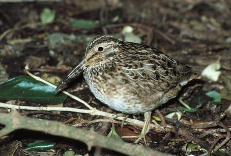 Chatham Island snipe. Adult. Rangatira Island, Chatham Islands, July 1986. Image © Colin Miskelly by Colin Miskelly